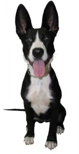What kind of dog do you have? Our dog breed identification study may help uncover your dog's identity!