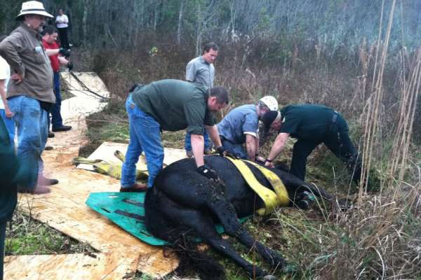 horse rescue, Getting onto the sled