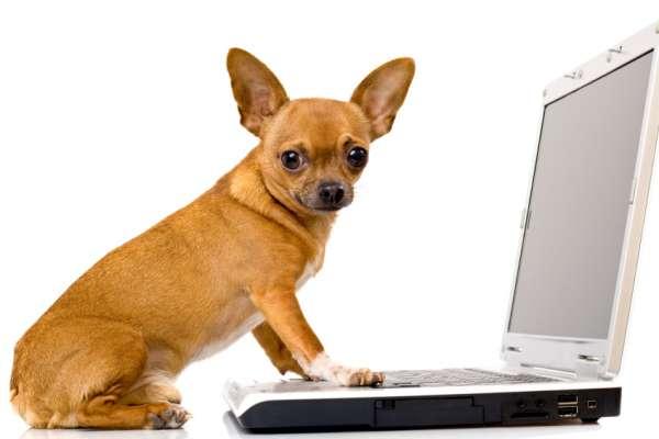 chihuahua at computer