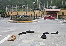 Street dogs in the capital city of Thimphu