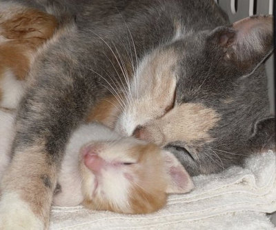 Mother snuggles kitten