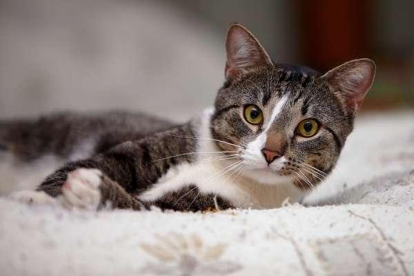 tabby cat lying on blanket