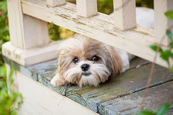 puppy dog peeking on porch