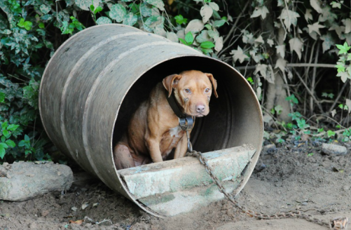 dog with chain seeking shelter in cut out barrel