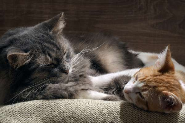 Domestic cats are sleeping comfortably
