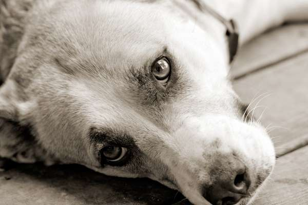 Sweet dog laying down looking up