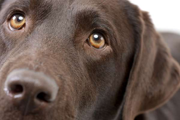 close up of brown lab