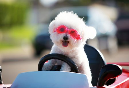 Happy little white dog in toy car with pink goggles
