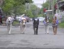Thailand Watchdogs