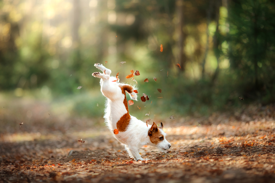 dog jumping in fall leaves
