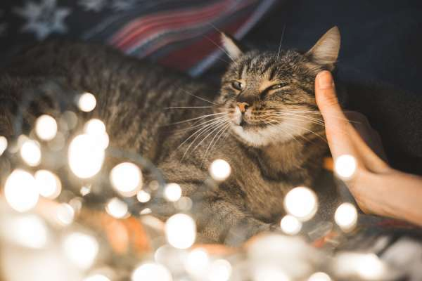 Human hand caresses cute cat head. Christmas lights in the foreground