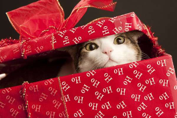 cat peeking head out from Christmas box