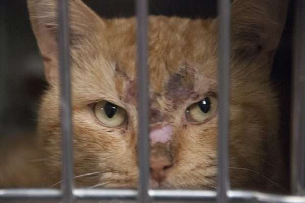 Injjured shelter cat in cage