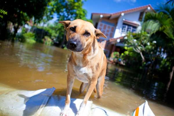 dog looking on overflowing waters of river natural disaster