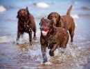 Three Labrador retrievera on the beach