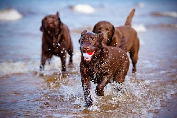 Three Labrador retrievera on the beach