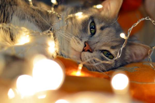 Christmas lights and cat