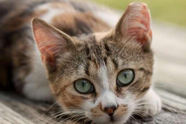 ear tipped cat