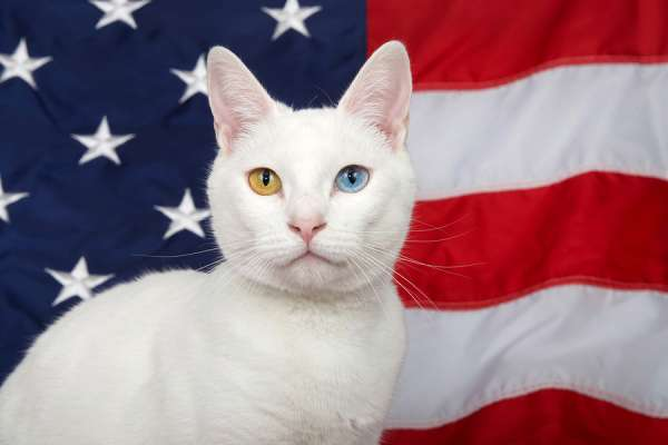 Portrait of a white cat with heterochromia (odd-eyes) looking directly at viewer. American flag in background. Patriotic animal theme.