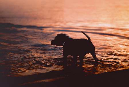 Silhouette of a dog in the water on a sunset background