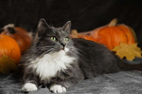 Halloween cat lying on bed with pumpkins
