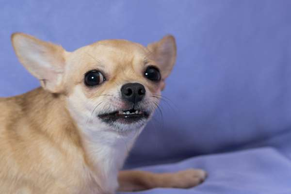 Fearful Chihuahua on blue background