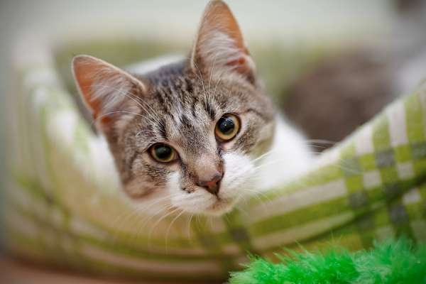 Tabby cat in green plaid cat bed with green cat toy