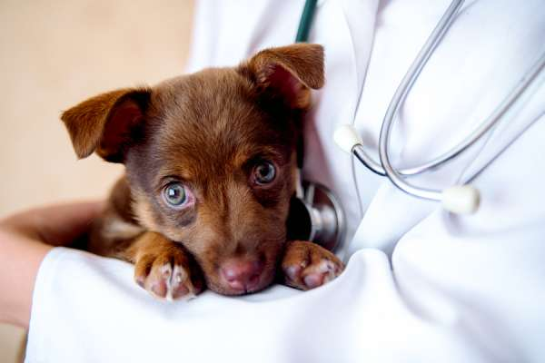 Brown puppy in the arms of a veterinarian