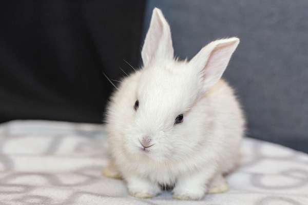 white bunny rabbit looking frontward to viewer, Little bunny sitting on sofa