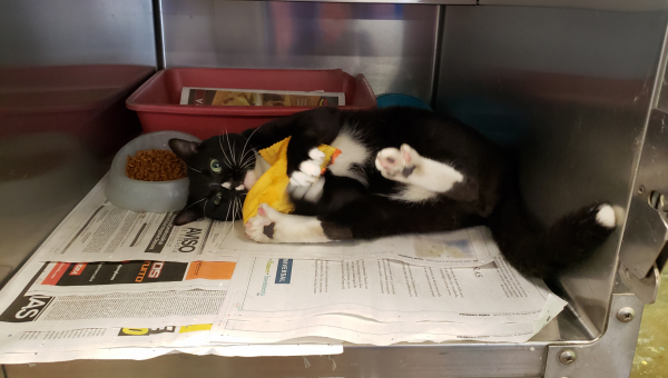 Happy black and white shelter kitten with toy