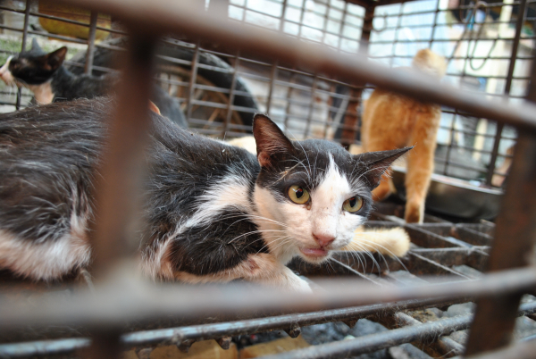 Cats in cage for Vietnam's meat trade