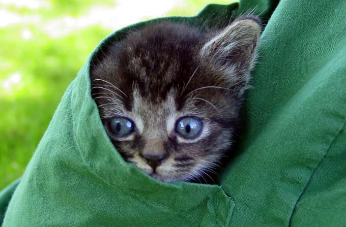 kitten in scrub pocket