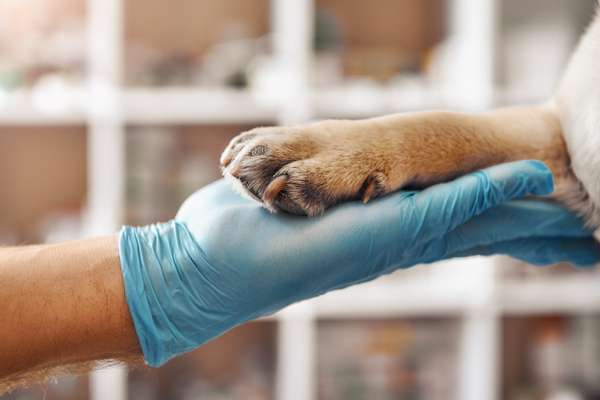 veterinarian or shelter worker wearing glove holding paw of dog