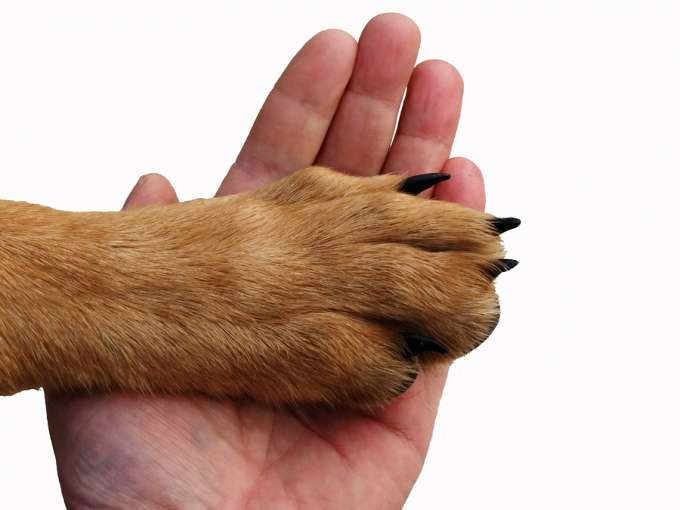 The paw of a dog lies in a hand of the person.