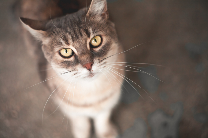 Golden-eyed cat looking into camera