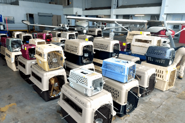 Animals in crates lined up awaiting to board an airplane