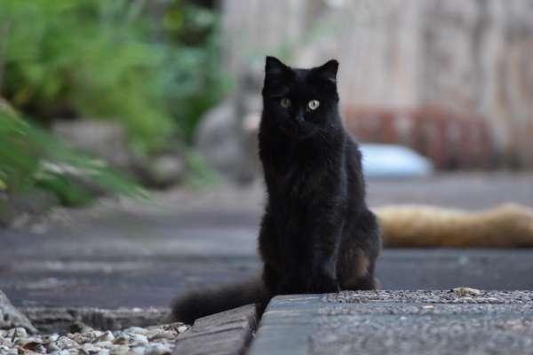 ear tipped black cat