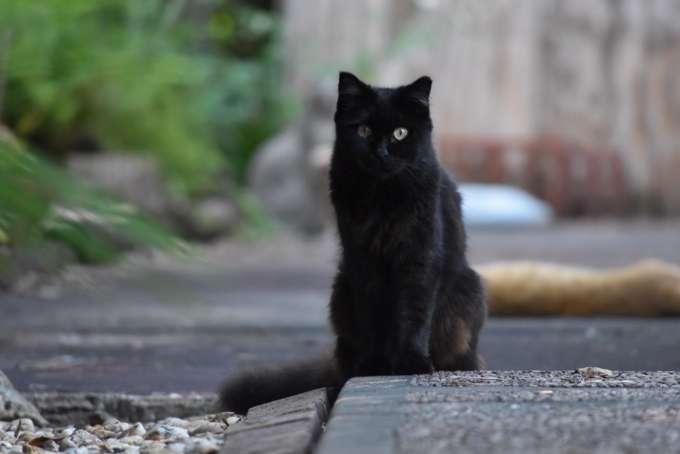 black ear-tipped community cat