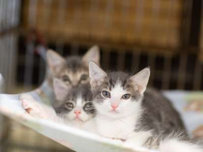 three gray and white kittens in crate